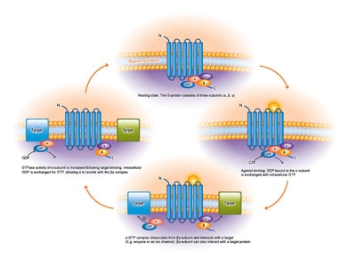 Diagram summarising how GPCRs work