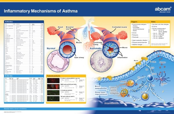 Inflammatory mechanisms of asthma poster