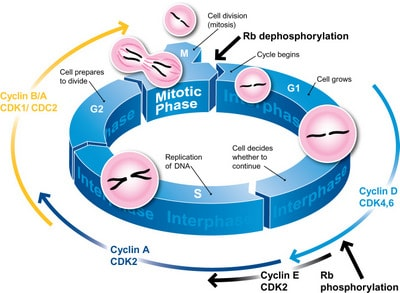 Cell Cycle Diagram