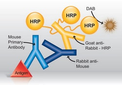 Detection of mouse primary antibody