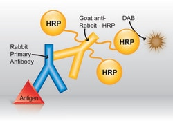Detection of rabbit primary antibody