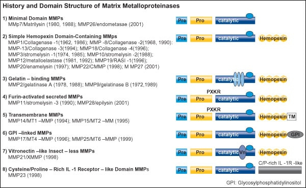 MMP- History and Domain Structure of MMPs LF