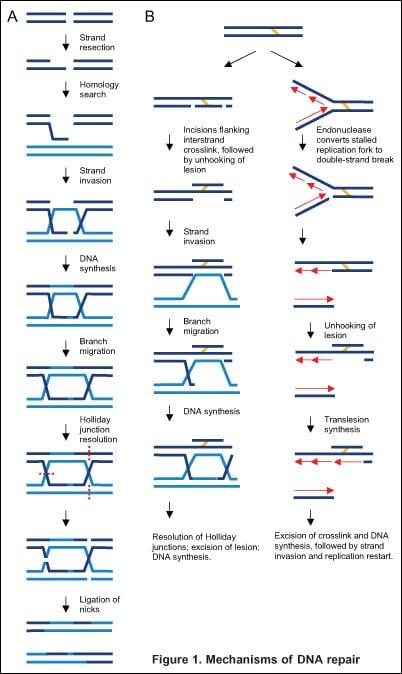 Figure 1: Mechanisms of DNA repair