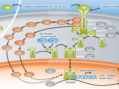 JAK/STAT signaling pathway card
