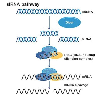 Mechanism of siRNA