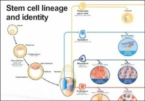 Stem Cells lineage and identity