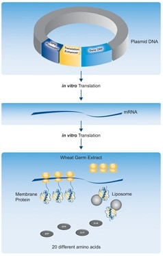 Wheat Germ Protein Expression Overview
