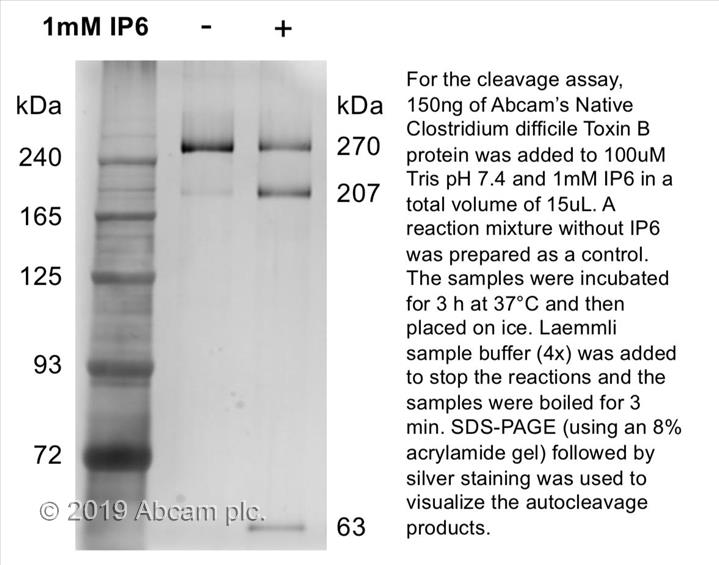 Native Clostridium difficile Toxin B protein (ab124001) | Abcam