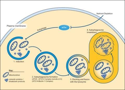 Autophagic pathway