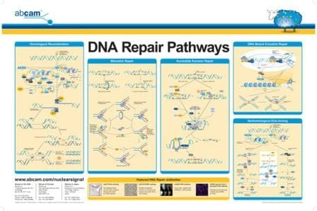 DNA repair pathways