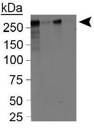 Western blot - CENPF antibody (ab5)