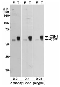 Western blot - Anti-CSN1 antibody (ab10413)