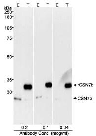 Western blot - Anti-CSN7b antibody (ab11895)