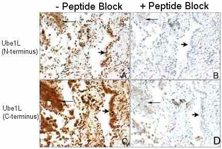 Immunohistochemistry (Formalin/PFA-fixed paraffin-embedded sections) - Anti-Ube1L antibody (ab12200)