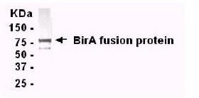 BirA antibody (ab14002) | Abcam