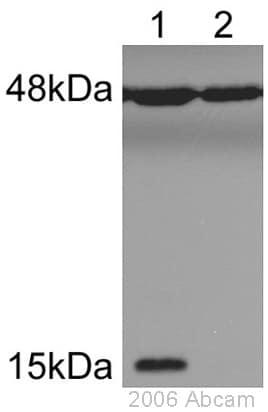Western blot - Anti-Histone H2A (phospho S1) + Histone H4 (phospho S1) antibody (ab14723)