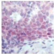 Immunohistochemistry (Formalin/PFA-fixed paraffin-embedded sections) - Anti-Oct-2 antibody, prediluted (ab15115)