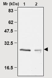 Immunoprecipitation - Peroxiredoxin 4 antibody [3A1] (ab16941)