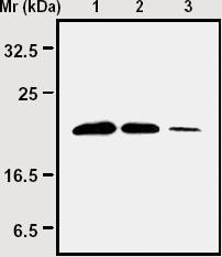 Western blot - Peroxiredoxin 6 antibody [1A11] (ab16946)