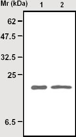 Immunoprecipitation - Superoxide Dismutase 1 antibody [72B1] (ab16948)