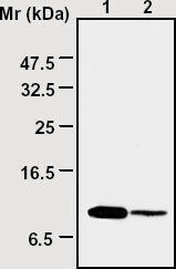 Western blot - Thioredoxin / TRX antibody [3A1] (ab16965)