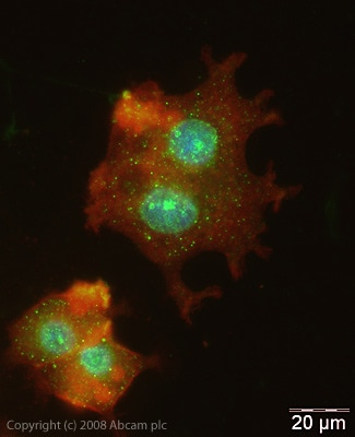 Immunocytochemistry/ Immunofluorescence - Anti-HIF-2-alpha antibody (ab20654)