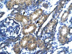 Immunohistochemistry (Formalin/PFA-fixed paraffin-embedded sections) - Anti-SP140 antibody (ab24341)
