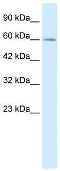Western blot - Myelin expression factor 2 antibody (ab26098)
