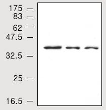 Western blot - Anti-p38 antibody [6A1] (ab28443)
