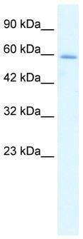 Western blot - HCLS1 antibody (ab28725)