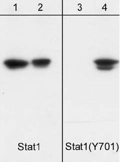 Western blot - STAT1 (phospho Y701) antibody [M135] (ab29045)