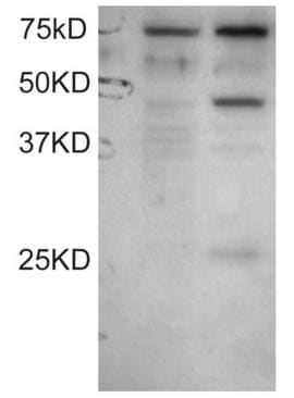 Western blot - DYX1C1 antibody (ab31287)