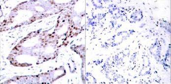 Immunohistochemistry (Paraffin-embedded sections) - c-Jun antibody (ab31367)