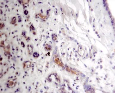 Immunohistochemistry - Arginyl tRNA synthetase antibody (ab31537)