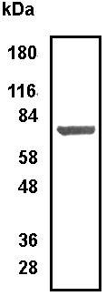 Western blot - Arginyl tRNA synthetase antibody (ab31537)