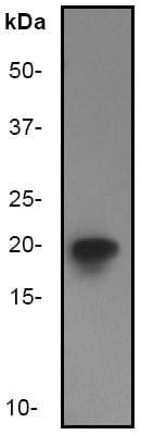Western blot - eIF5A antibody (ab32014)