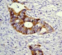 Immunohistochemistry (Paraffin-embedded sections) - Raf1 antibody [Y198] (ab32025)