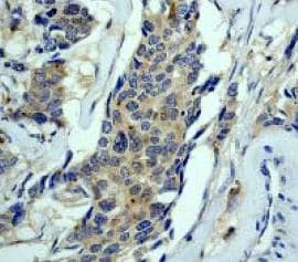 Immunohistochemistry (Formalin/PFA-fixed paraffin-embedded sections) - Anti-Nck antibody [Y531] (ab32120)