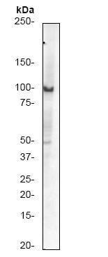 Western blot - Daxx antibody [E94] (ab32140)