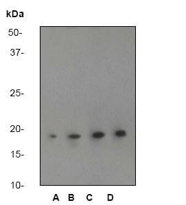 Western blot - Anti-CPI17 alpha antibody [E305] (ab32213)