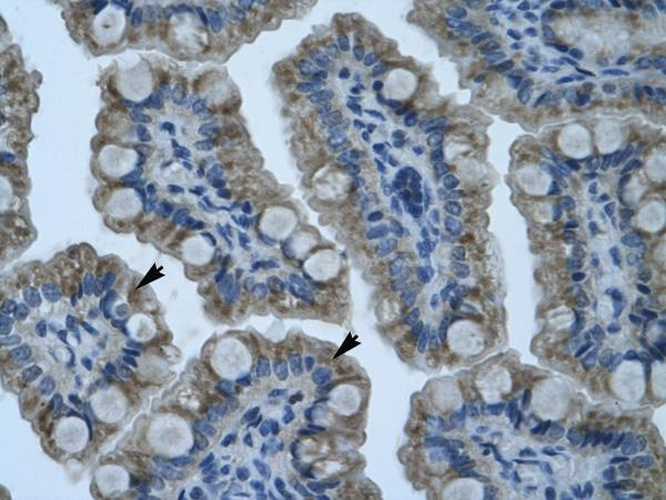 Immunohistochemistry (Formalin/PFA-fixed paraffin-embedded sections) - Anti-Gonadotropin Inducible Transcription Repressor 1 antibody (ab32597)