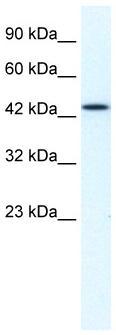 Western blot - MCM7 antibody (ab33074)