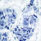 Immunohistochemistry (Paraffin-embedded sections) - Hsp27 (phospho S15) antibody (ab39399)
