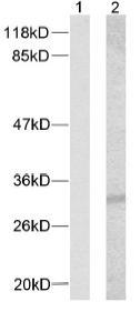 Western blot - p21 (phospho T145) antibody (ab39409)