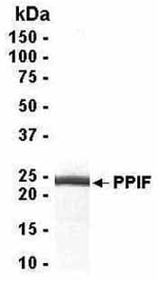 SDS-PAGE - Cyclophilin F protein (ab40517)