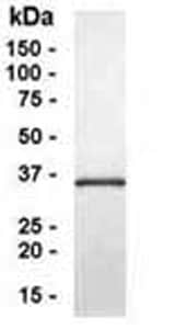 SDS-PAGE - G protein beta 4 protein (ab40639)