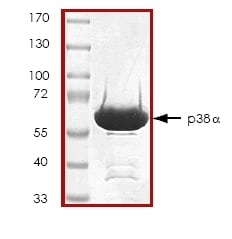 SDS-PAGE - p38 protein (ab45157)