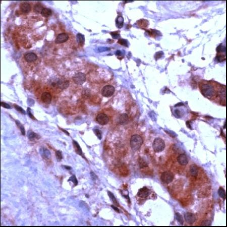Immunohistochemistry (Formalin/PFA fixed sections) - APAF1 antibody (ab46899)