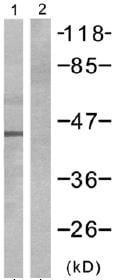 Western blot - Connexin 43 / GJA1 antibody (ab47441)