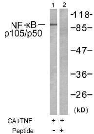 Western blot - Anti-NFkB p105 / p50 antibody (ab47475)